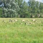 la-pevele-moutons